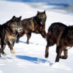 Manada de lobos cazando una liebre (HD)