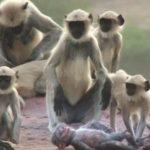 Impresionante: Monos langur confunden a un robot con una cría muerta