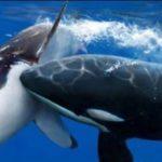orca cazando tiburon