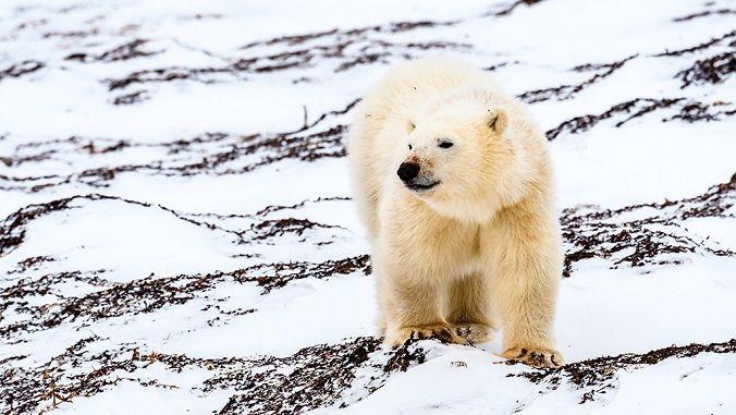 oso-polar-artico