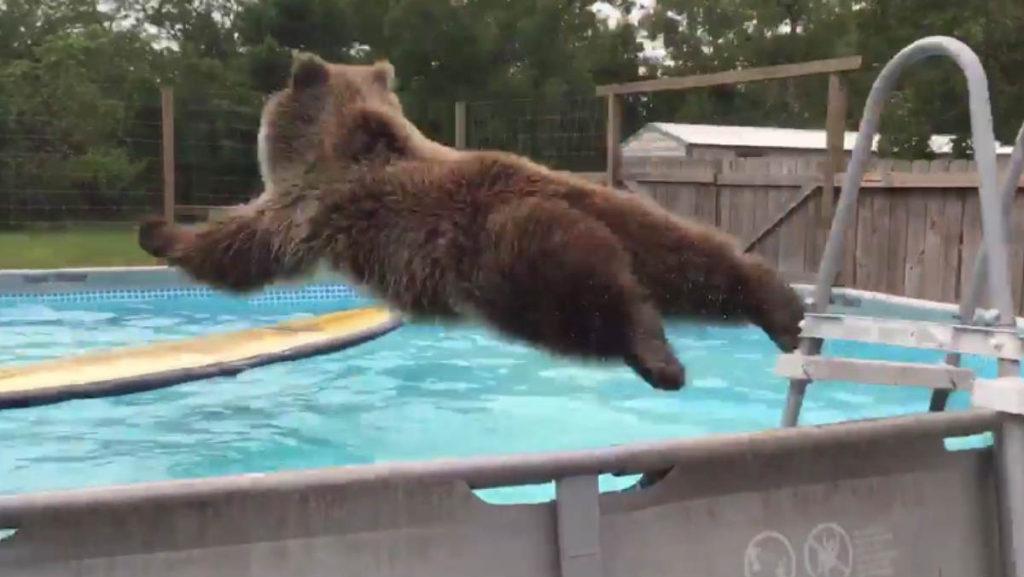 oso tirandose en plancha a piscina