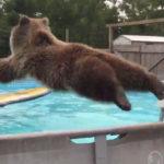 Oso tirandose en plancha a una piscina