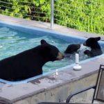 osos-piscina