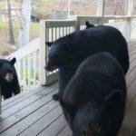 Breve visita de una familia de osos a mi porche