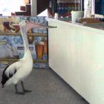 pelicano esperando tienda pescado