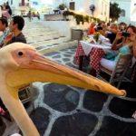 Bailando con el pelicano Petros en Miconos