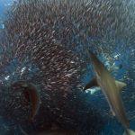 Tiburones cazando en bancos de salmonetes (a vista de dron)