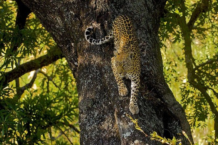 leopardo-arbol
