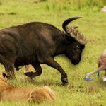 bufalo-hace-volar-leon