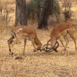 Impresionante: Leopardo interrumpe una pelea de dos impalas