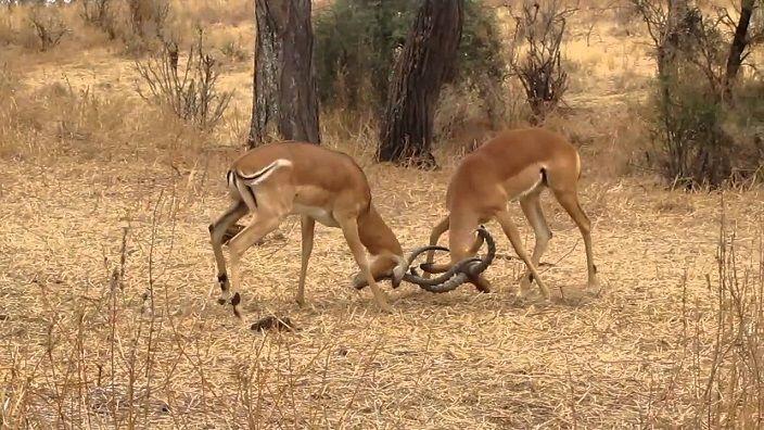 -impalas-peleando