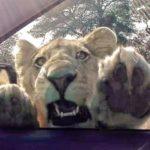 Leona intentando entrar en un coche