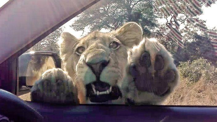 -leona-intentando-entrar-en-coch