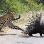 -leopardo-puercoespin-crestado