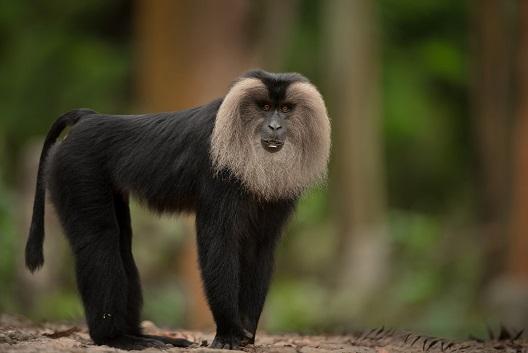 macaco cola leon sileno