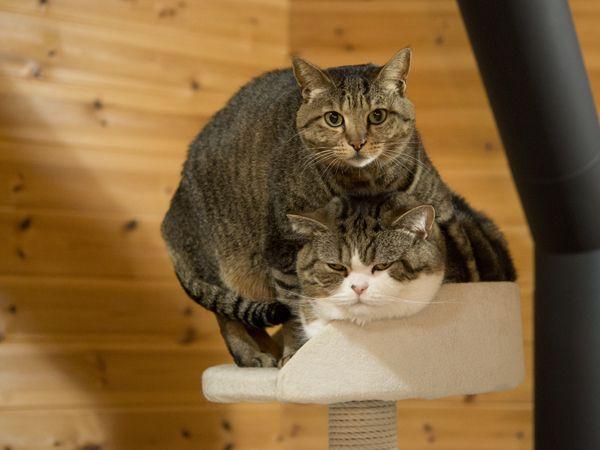 maru hana gatos