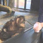 orangutan-truco-de-magia-