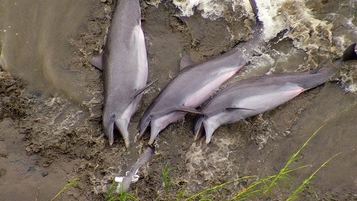 delfines cazando en la orilla rio