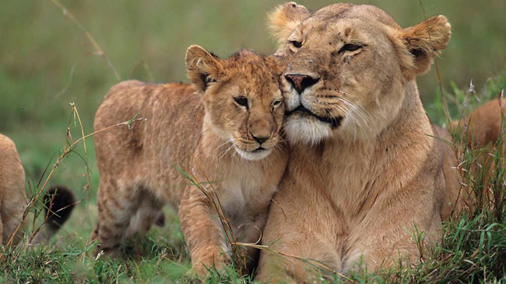 documental leona leon cachorro