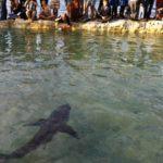 Joven gran tiburón blanco en una piscina