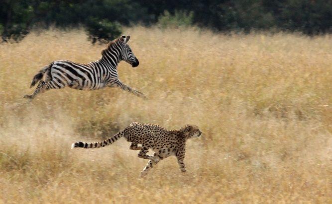 guepardo-cazando-cebra