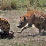 Hiena ataca a un leopardo y salva a un impala