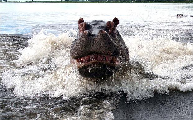 hipopotamo atacando bote