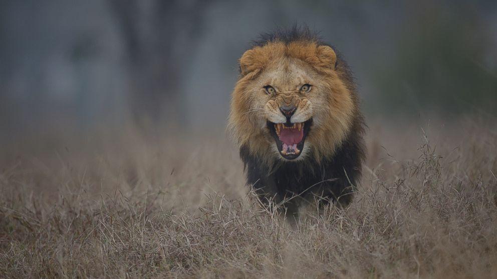 leon enfadado