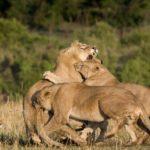 Leonas de una manada peleando