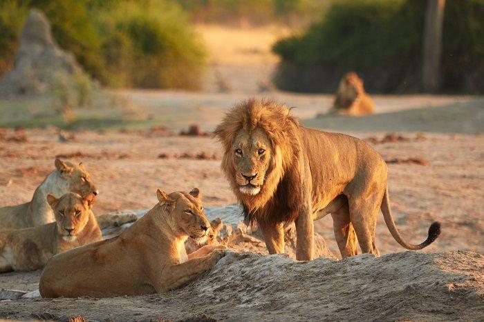 leones-savuti