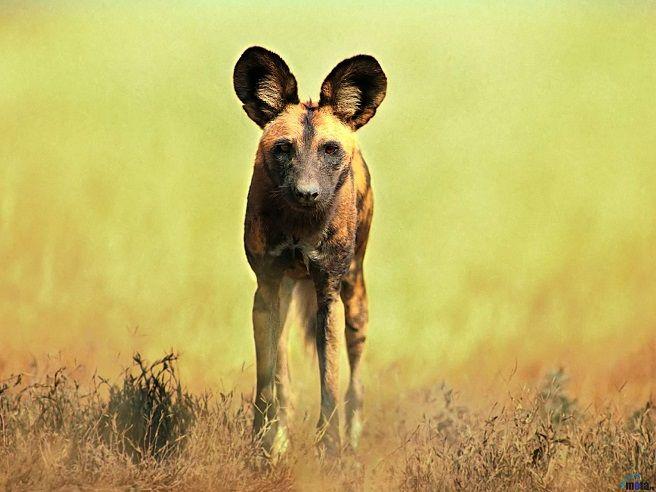 perro-salvaje-licaon