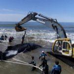 rescatan ballena varada en argentina
