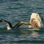 tiburon-tigre-cazando-albatro