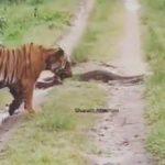 tigre piton camino india