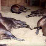 caballos echando la siesta