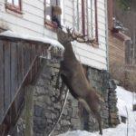 ciervo-visita-casa-mujer-cada-dia