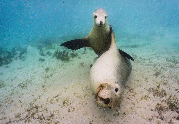 focas-juguetonas