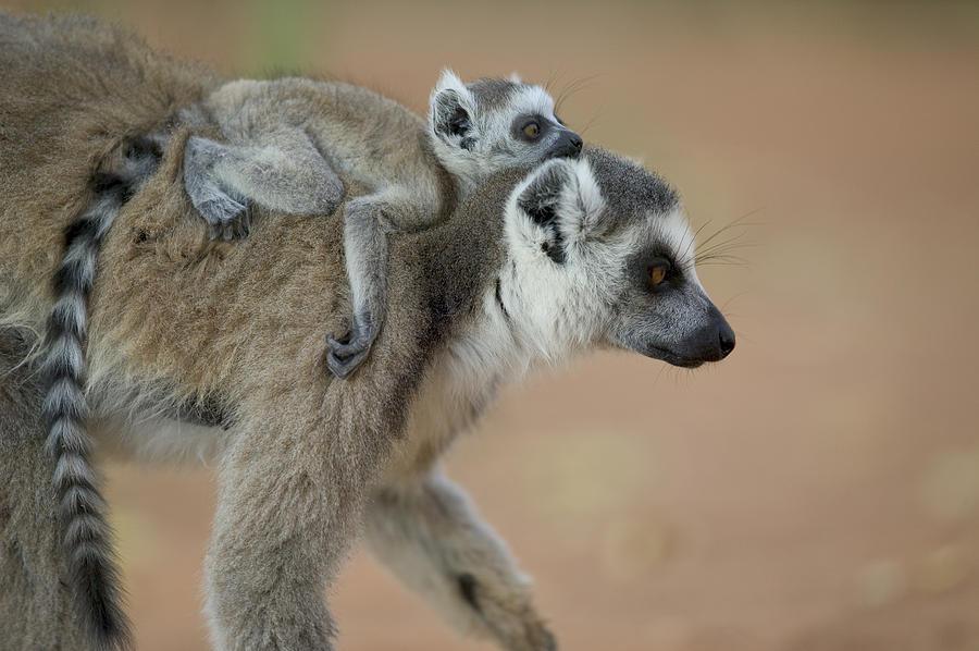 lemur cola anillada