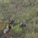 Perro jugando con osos en Rusia
