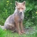 El zorro feliz en el jardín en Unalaska