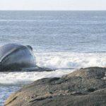 ballena-encallada