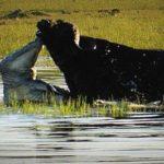 Cocodrilo del Nilo cazando un búfalo