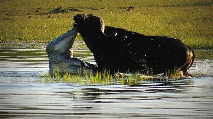 cocodrilo-cazando-bufalo