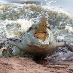 cocodrilo-orinoco-atacando