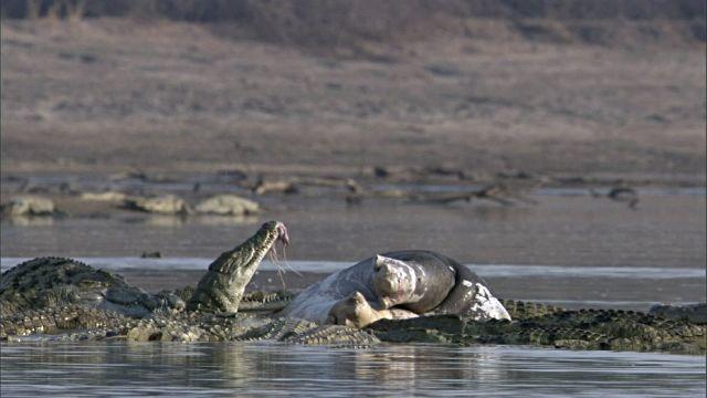 cocodrilos-comiendo-cadaver-hipopotamo