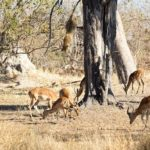 ¡Leopardo cazando un impala desde un árbol!