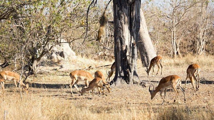 leopardo-cazando-impala-desde-arbol