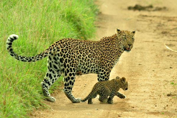 -leopardo-cria