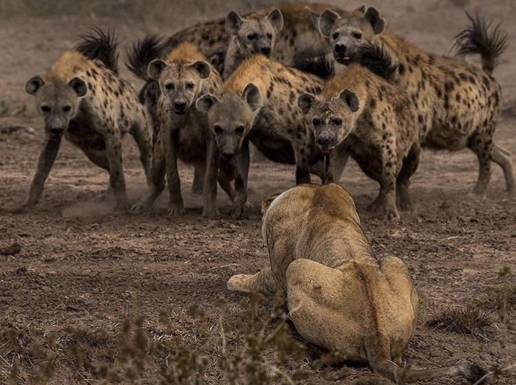 manada de hienas acosando leon