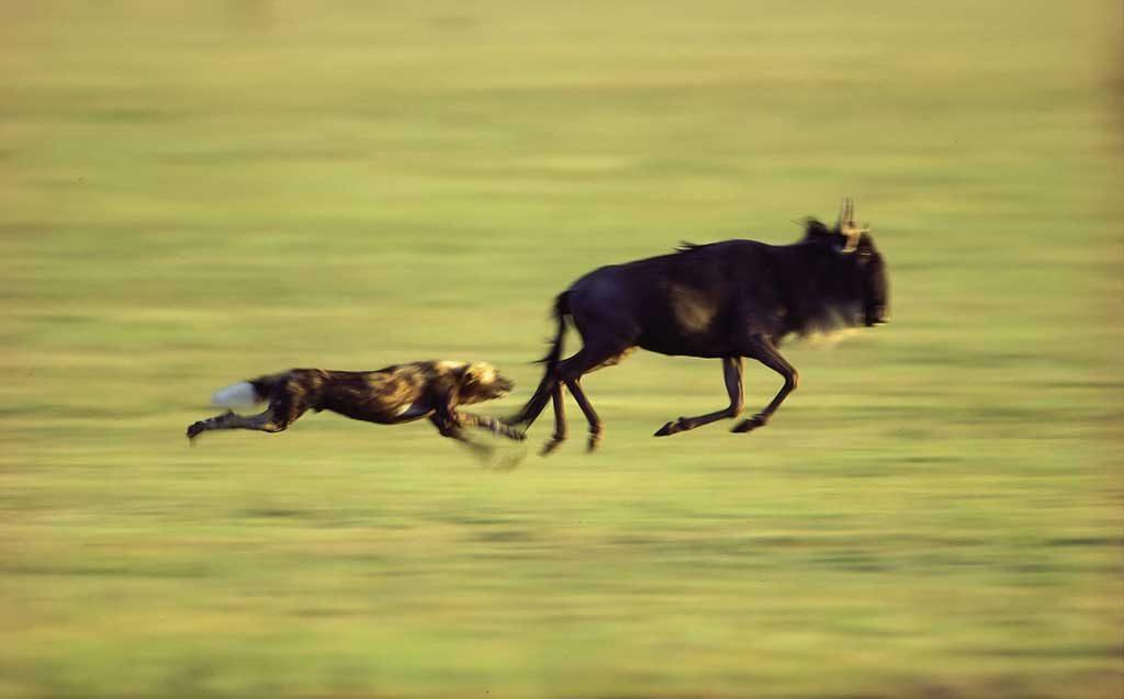 perro salvaje cazado ñu